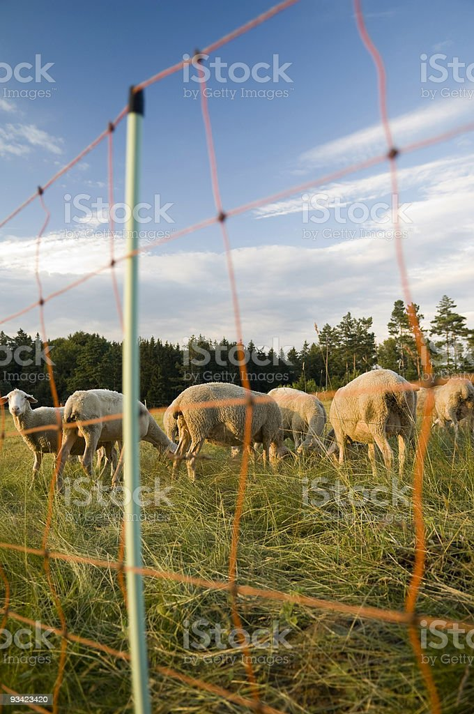 Sheep behind the Fence royalty-free stock photo