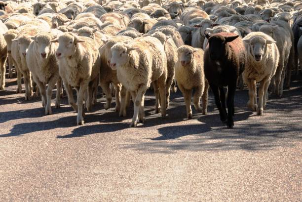 sheep being herded on a livestock corridor road stock photo