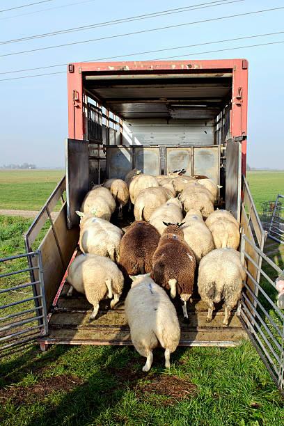 Trasporto di pecore - foto stock