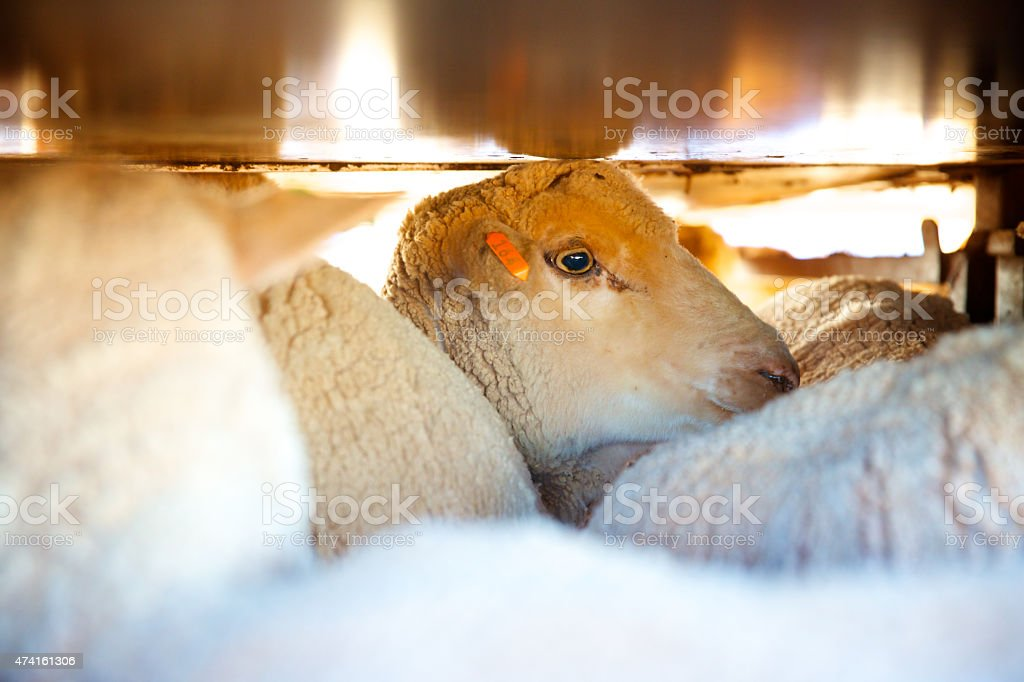 Sheep being transported in truck stock photo