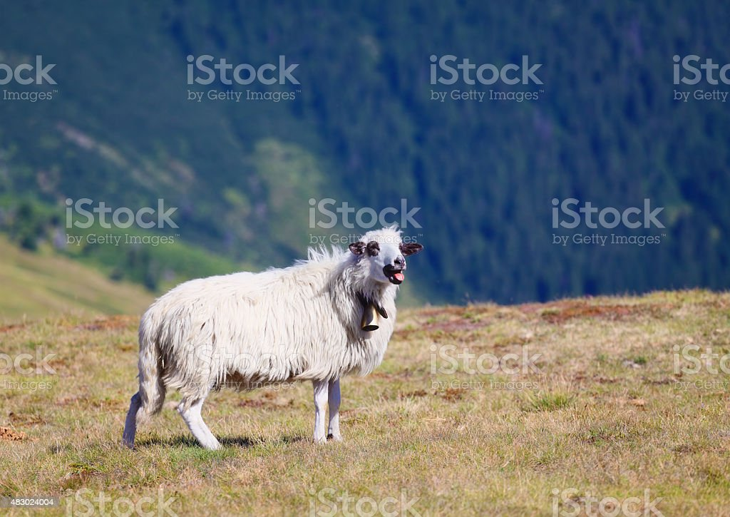 sheep bleats and showing tongue stock photo