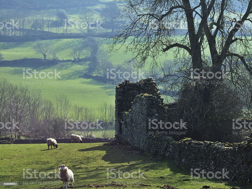 Sheep by a ruined wall royalty-free stock photo