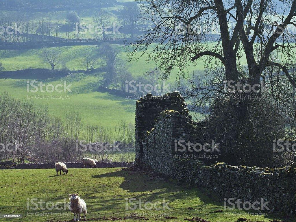 Pecore con una baita di muro foto stock royalty-free