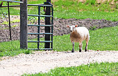 One lost sheep trying to get back in the pen.