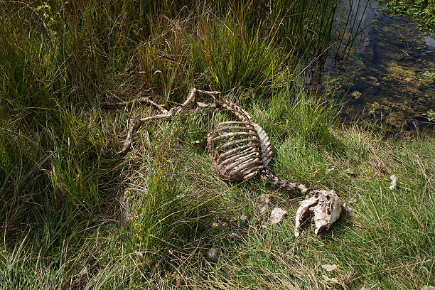 Sheep carcass stock photo