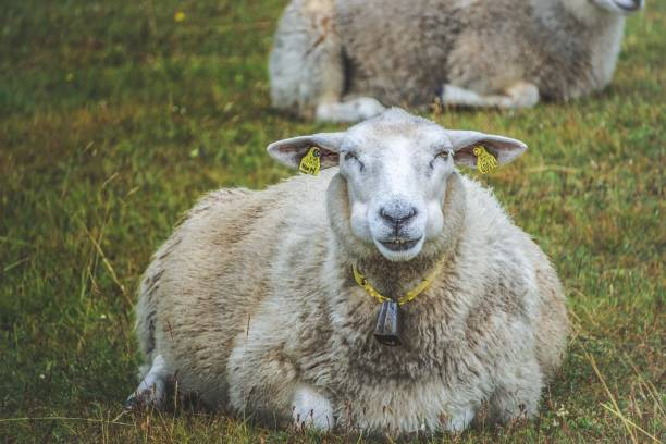 sheep chewing in a field - cud stock pictures, royalty-free photos & images