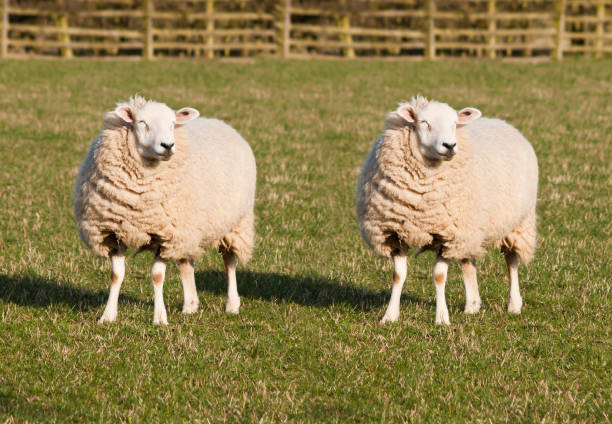 Sheep Cloning. Two identical sheep standing in a field. stock photo