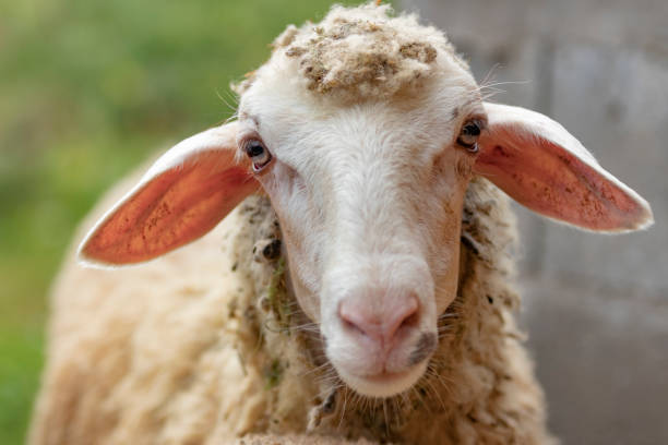 a sheep close up looking at the camera - um animal imagens e fotografias de stock