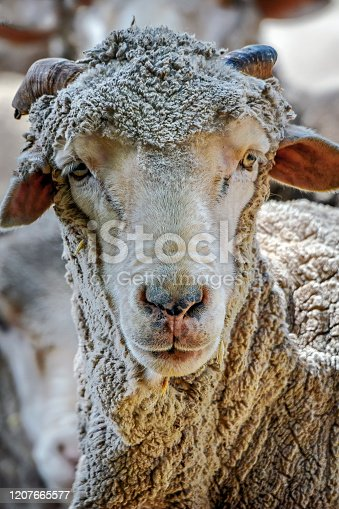 Close up portrait of a sheep in a holding pen