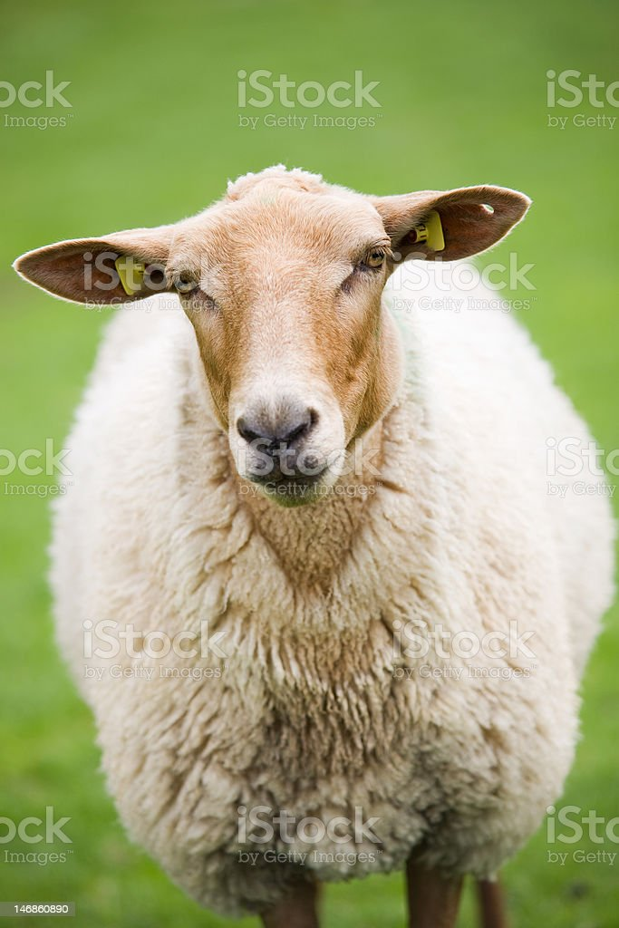 sheep closeup on green meadow stock photo