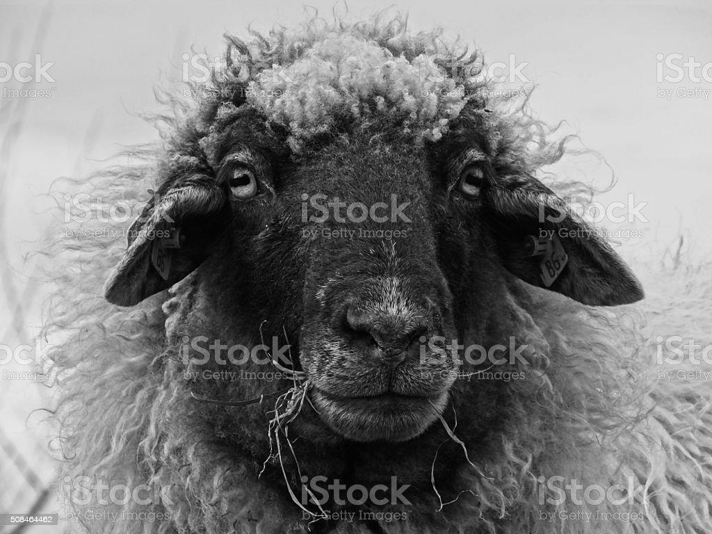 Sheep close-up stock photo