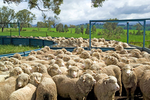 Sheep coming in olding pan, merino sheep coming in yards to be drenched for parasites. stock photo