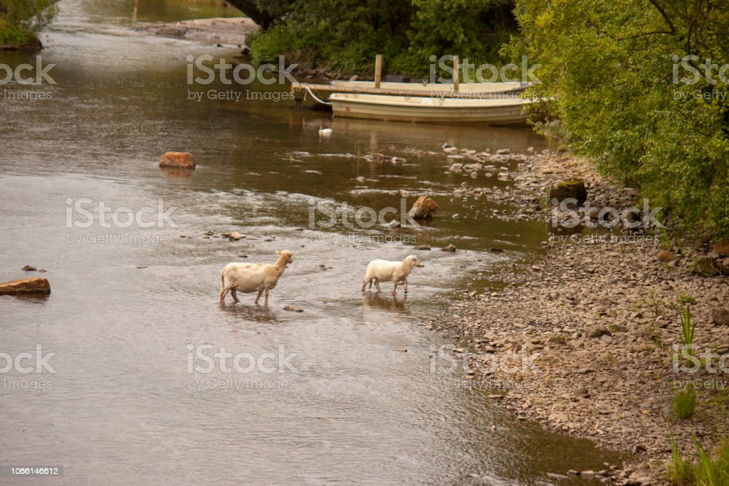 Sheep crossing a river in Snowdonia stock photo