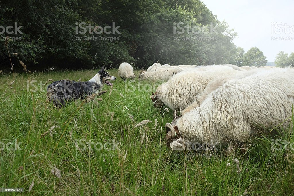 sheep dog herding demonstration stock photo