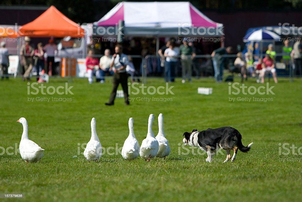 Sheep Dog herding geese royalty-free stock photo