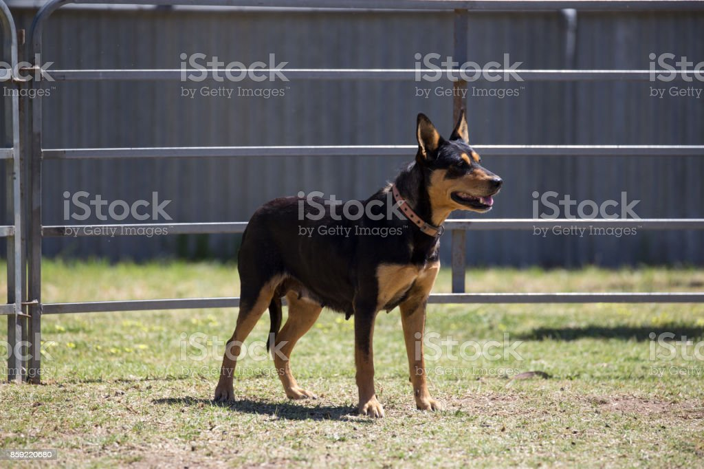 Sheep dog kelpie stands at attention stock photo