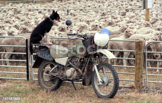 Sheep dog watching over a herd of merino sheep in outback, Australia