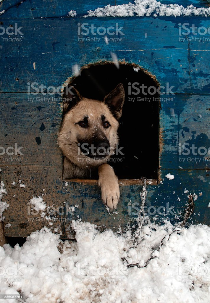 sheep dog stock photo