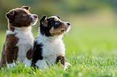 Two little sheep dog pups sit attentively in a grassy field.