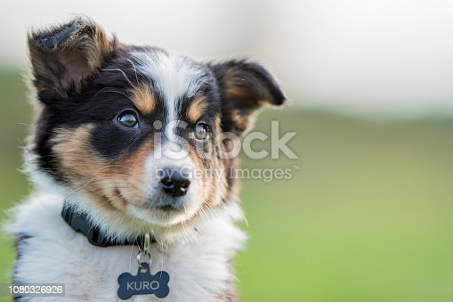 A sheep dog pup sits attentively in a grassy field.