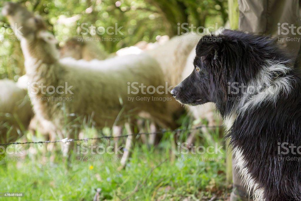 Sheep dog sitting beside shepherd stock photo