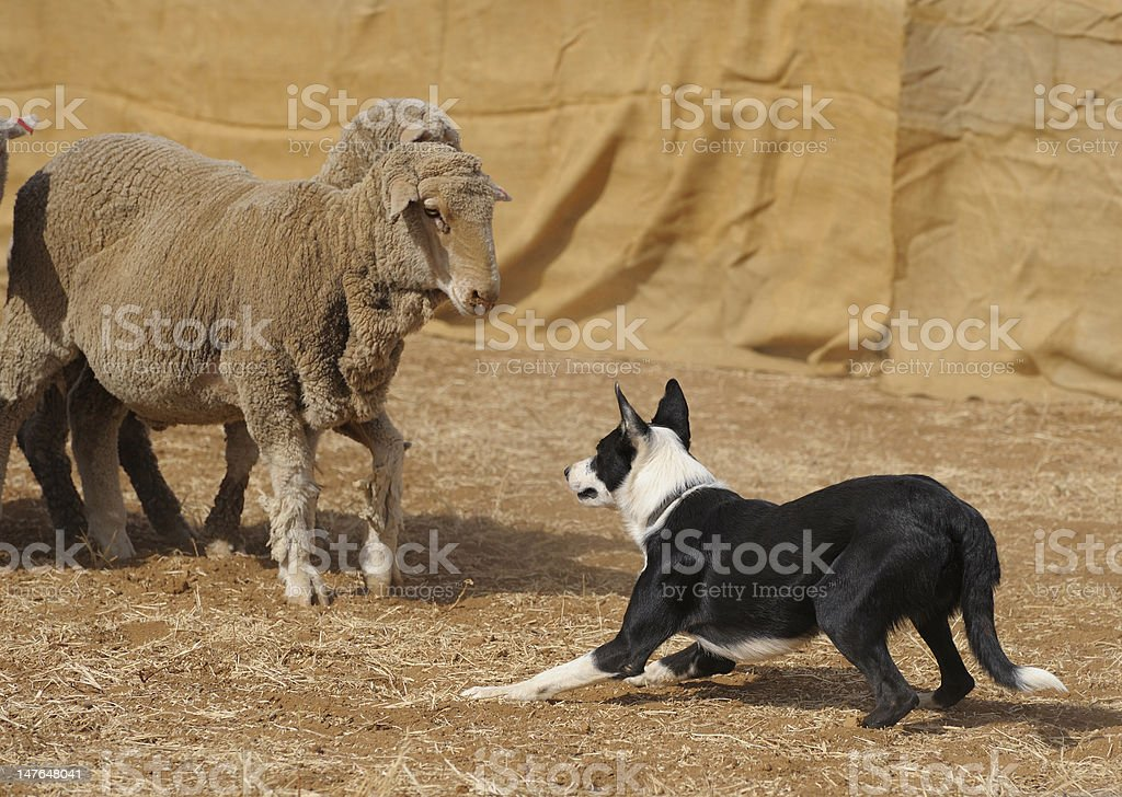 sheep dog trials stock photo