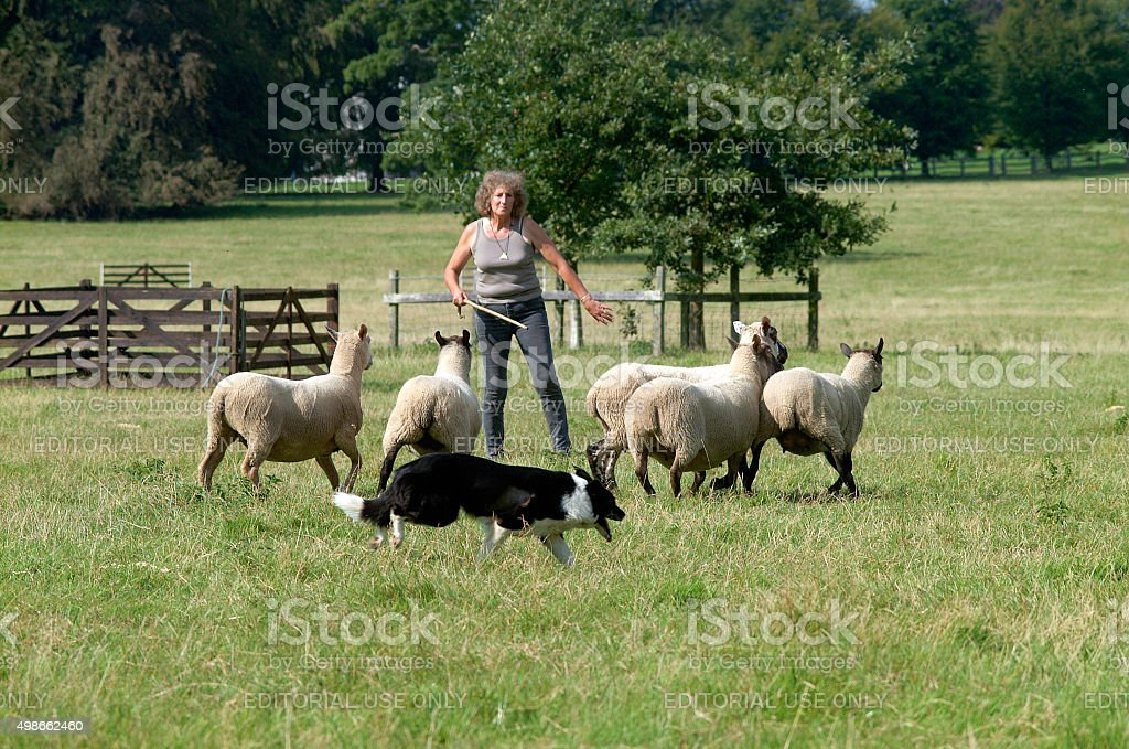 Sheep dog trials sheperd competition stock photo