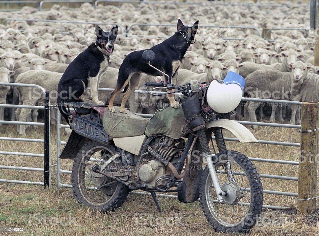 sheep dogs stock photo