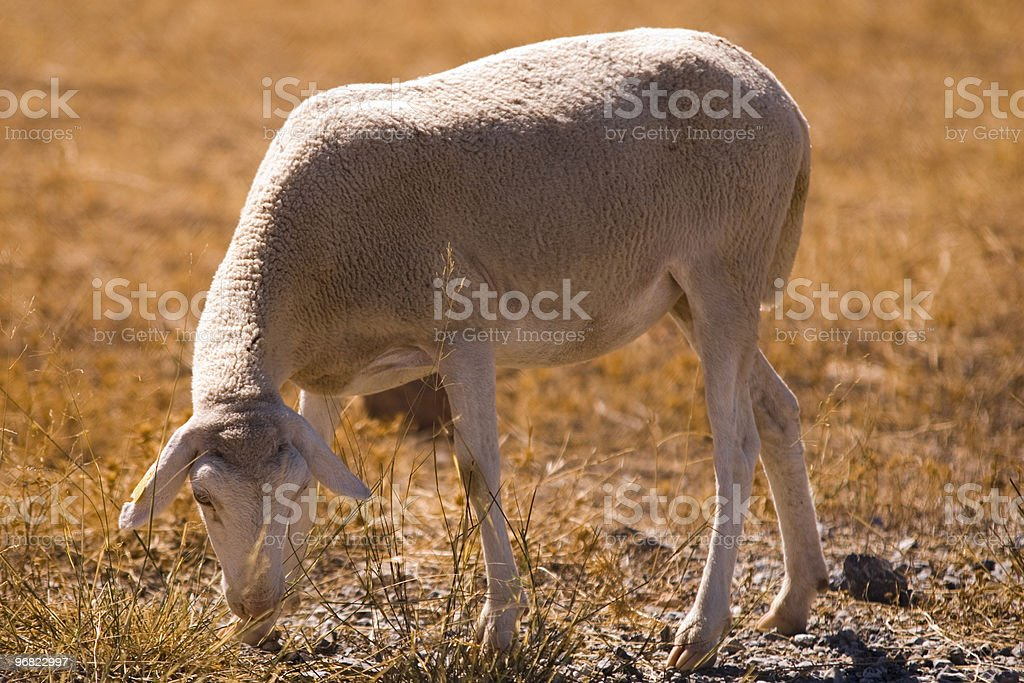 sheep eating brown grass stock photo