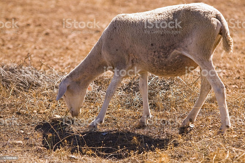 sheep eating brown grass royalty free stockfoto