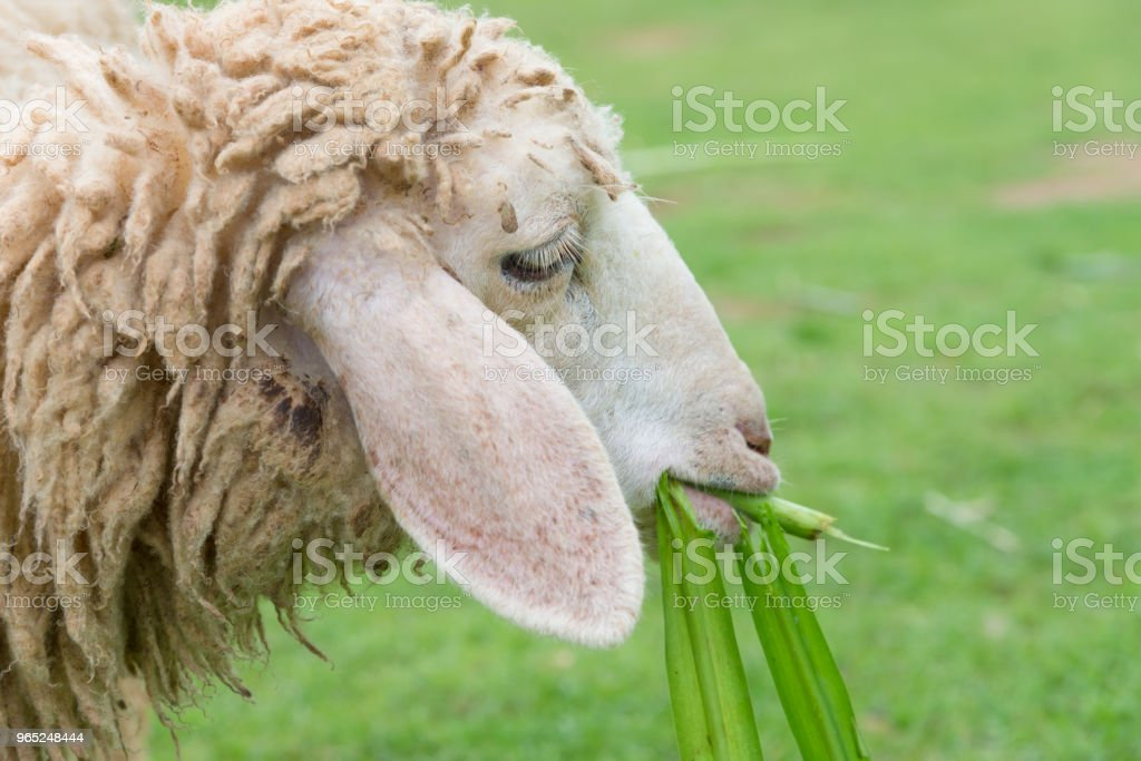 sheep eating grass leaves in sheep farm royalty-free stock photo