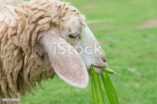 Sheep Eating Grass Leaves In Sheep Farm Stock Photo & More Pictures of Agriculture