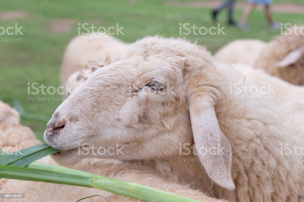 sheep eating grass leaves in sheep farm zbiór zdjęć royalty-free