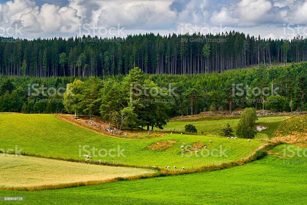 Sheep eating grass on field in Norway, Bru, Stavanger stock photo