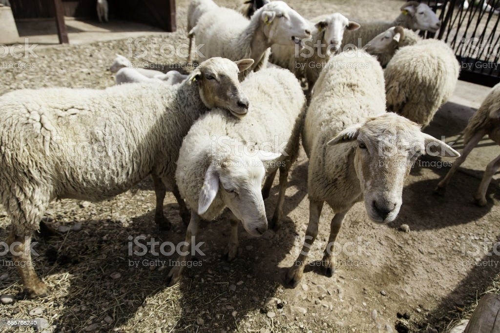 Sheep eating grass foto stock royalty-free
