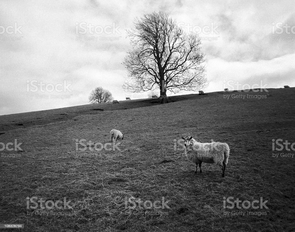 Sheep, England Photographed in the hills around Wolsingham, Northeastern England - film grain visible [url=file_closeup.php?id=12898252][img]file_thumbview_approve.php?size=1&id=12898252[/img][/url] [url=file_closeup.php?id=12899772][img]file_thumbview_approve.php?size=1&id=12899772[/img][/url] [url=file_closeup.php?id=12879524][img]file_thumbview_approve.php?size=1&id=12879524[/img][/url] [url=file_closeup.php?id=14605646][img]file_thumbview_approve.php?size=1&id=14605646[/img][/url] [url=file_closeup.php?id=18001125][img]file_thumbview_approve.php?size=1&id=18001125[/img][/url] [url=file_closeup.php?id=13684547][img]file_thumbview_approve.php?size=1&id=13684547[/img][/url] [url=file_closeup.php?id=9390129][img]file_thumbview_approve.php?size=1&id=9390129[/img][/url] [url=file_closeup.php?id=22388236][img]file_thumbview_approve.php?size=1&id=22388236[/img][/url] [url=file_closeup.php?id=26221137][img]file_thumbview_approve.php?size=1&id=26221137[/img][/url] Animal Themes Stock Photo