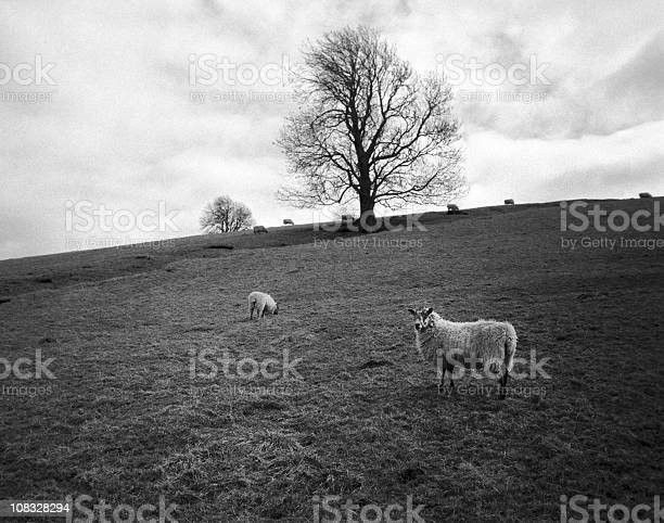Sheep England Stock Photo - Download Image Now