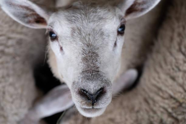 sheep eyes to eyes. stock photo