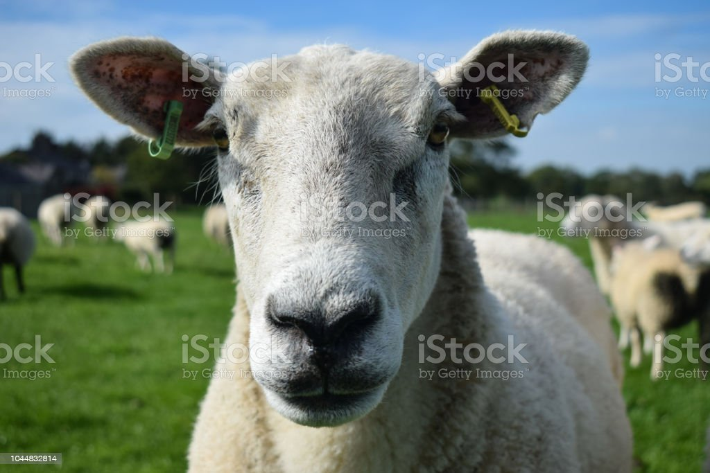 Sheep face stock photo