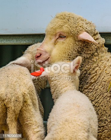 Baby sheeps and mother at traditional rural exhibition at prado neighborhood in montevideo city, uruguay