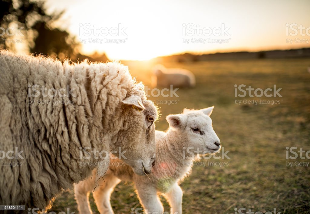 Sheep family stock photo