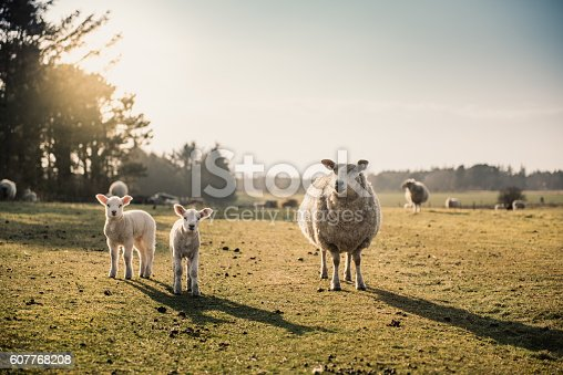 A sheep with two lambs