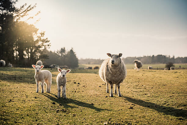 Pecore famiglia di  - foto stock