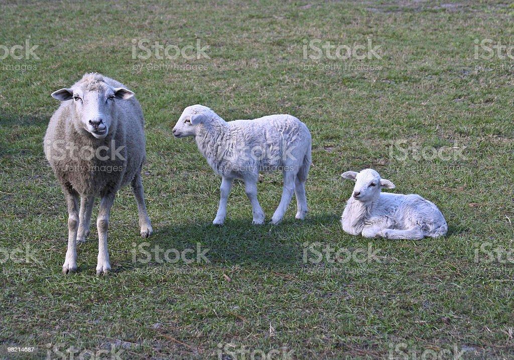 Pecore famiglia di foto stock royalty-free