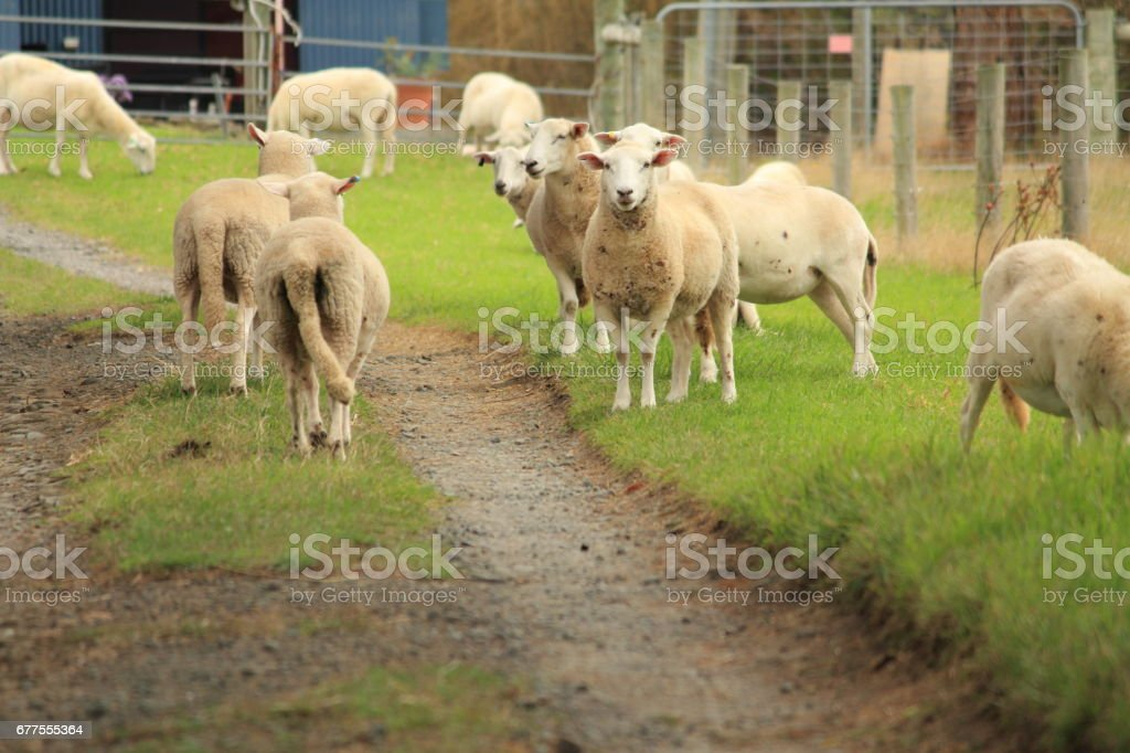 Sheep farm royalty-free stock photo