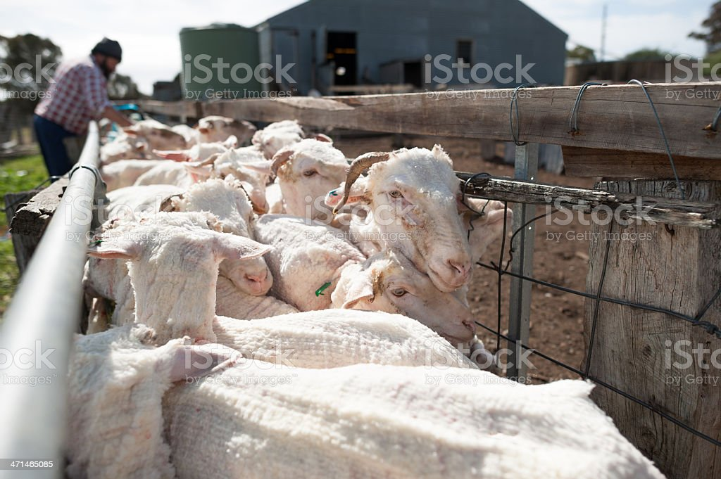 Sheep Farmer tending his Sheared Flock stock photo