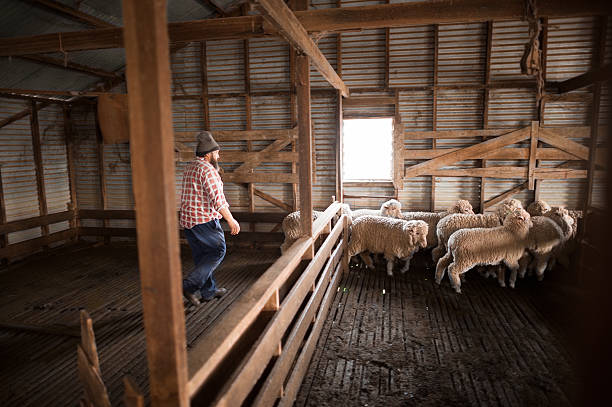 Sheep Farmer with his Flock in a Shed Sheep Farmer with his Flock in a Shed merino sheep stock pictures, royalty-free photos & images