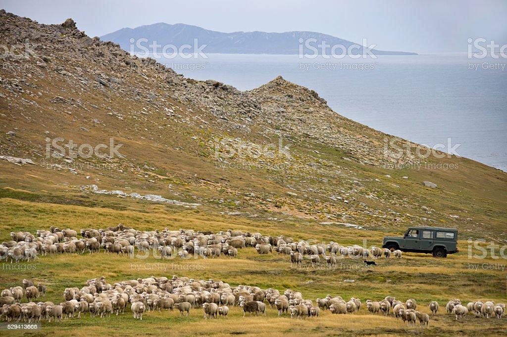 Sheep Farming - Carcass Island - Falkland Islands stock photo