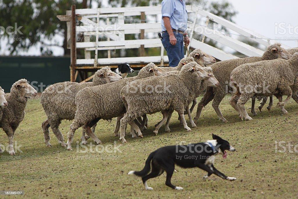 Sheep Farming stock photo
