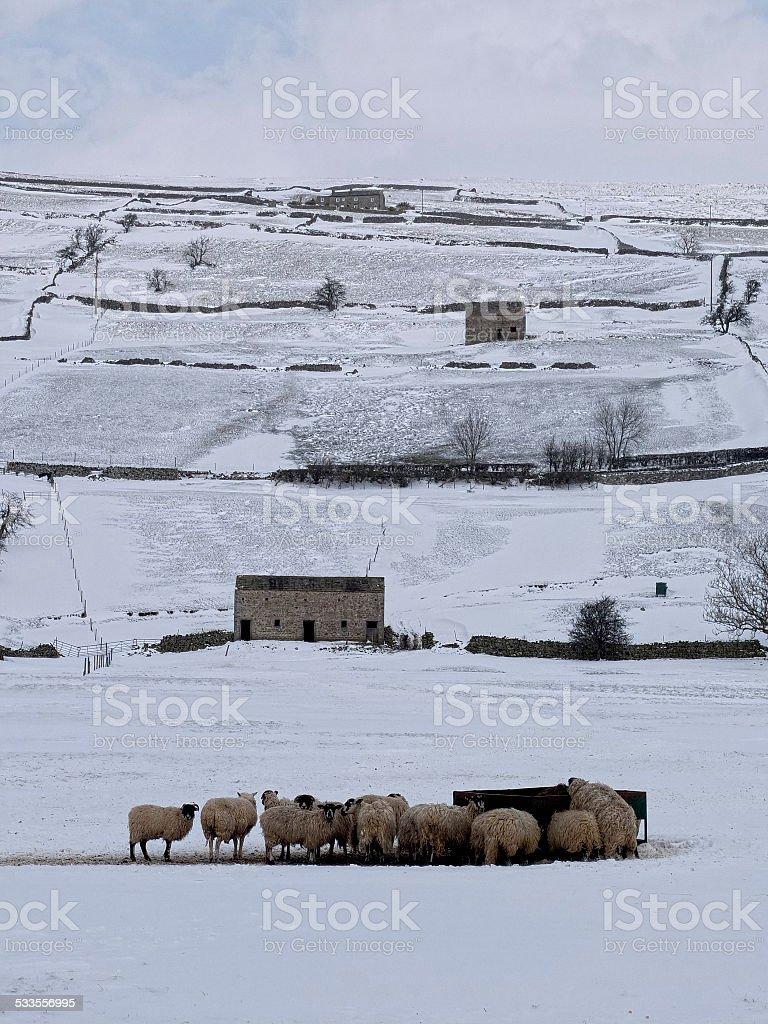 Sheep feeding in Swaledale, winter scene stock photo